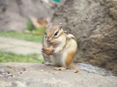手乗りシマリスと遊ぼう!「オホーツクシマリス公園」でエサやり体験