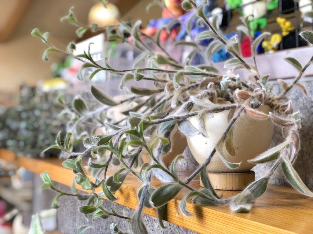 ダチョウの卵 観葉植物